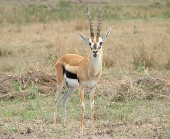 running cadence gazelle